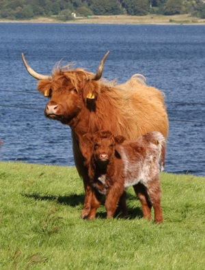 Mother and calf Loch Loch holiday cottages